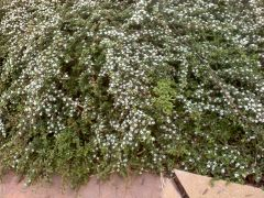 cotoneaster